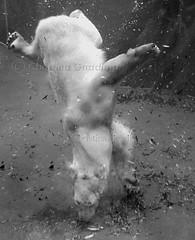 Polar Bear .. in B&W (joschmoblo) Tags: bear bw copyright animal d50 zoo nikon polarbear polar 1855 allrightsreserved myfavs 2007 joschmoblo christinagnadinger
