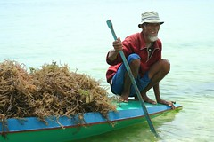 tambalang (Farl) Tags: travel portrait man seaweed history colors smile boat muslim philippines farming oar farmer sulu variety tradition strain mindanao tawitawi cottonii carrageenan kappaphycus alvarezii mariculture kappaphycusalvarezii eucheuma sitangkai tambalang sibutu carrageenanophute tandubanak