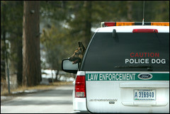 Police Dog (Domain Barnyard) Tags: dog pet car animal moving funny flickr ranger driving lasvegas nevada humor attack police driveby canine 2006 canoneos20d perro transportation bloggers april vehicle law germanshepherd mtcharleston lawenforcement k9 policedog trained doghead tingey yearofthedog2006 domainbarnyard ftfr workinganimal 123pets