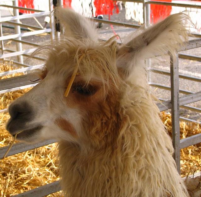 TN State Fair Llama