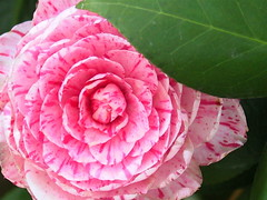 Camellia japonica (jam343) Tags: pink flowers white spring camellia ツバキ ヤブツバキ