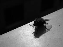 Proyectando sombra (kenwood) Tags: shadow bw macro bug lafotodelasemana fly sombra bn alas bicho mosca lfscontraluces