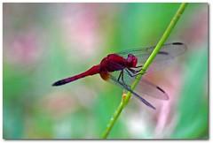 ... (.Tatiana.) Tags: macro riodejaneiro topv333 dragonfly liblula itatiaia fotoclube vivaitatiaia tatiemitatiaia prefirofotografarumalibelula doquevoardehelicoptero mascontinuofrustrada umdiaeuchegola bjdeboa5ta osolestaabrindo vouparaoplantao indocaminhanalagoaagoravejoocristodajanela beijoflor bomdiaflordodia migaaaaaaaaaaquefoi tatinorio 25faves macroflowerdatati macrofotodatati siteparavendadefotos httpwwwplanobfotodesigncom fototatianasapateiro