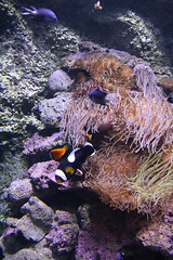 Trying to find Nemo here (pchelkin) Tags: nature water au sydney marinelife sydneyaquarium