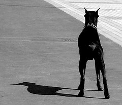 A Guardian (Digital Owl) Tags: bw dog dobermann sonydsct33 mge digitalowl digiowl
