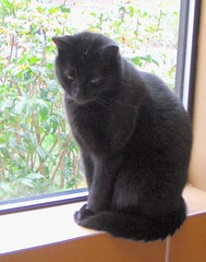 Pretty Black Cat in Window at Humane Society (Pixel Packing Mama) Tags: mycats catsandkittensset catscatscats ilovemycat nuggets cutecat blackcats allanimals artnolimits catskittensset catlovers heartlandhumanesociety femalephotographers petparade beautifulcats 5000views v5000 familyfurrythingsorboth pixelpackingmama meowscollector catssmalltobig dorothydelinaporter canonpowershota510a520 worldsfavorite everybodywantstobeacat catsandwindows melfanclub welovelatte catcentury favoritedpixset spcacatspool cc5900 cat5900 views50007500pool views1000andupdomesticcatsonlypool blackanimalspool blackcatspathpool uploadedfirsthalfof2006set pixelpackingmama~prayforkyronhorman oversixmillionaggregateviews over430000photostreamviews