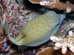 Puffer? Or boxfish. (Coppertane) Tags: ocean sea animals asia southeastasia underwater scuba diving malaysia scubadiving aur dayang c5060wz