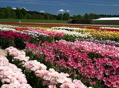 """The Show Garden"" (jodi_tripp) Tags: field tag3 taggedout woodland tag2 tag1 tulips wa allrightsreserved 1on1 payitforward showgarden joditripp wwwjoditrippcom photographybyjodtripp joditrippcom"