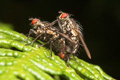 "X rated Mating Flies(1) • <a style=""font-size:0.8em;"" href=""http://www.flickr.com/photos/57024565@N00/188727872/"" target=""_blank"">View on Flickr</a>"
