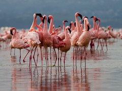 Flamingo dance in Nakuru (uzi yachin) Tags: 2005 wallpaper kenya flamingo nakuru 300v 222v2f calendarshot