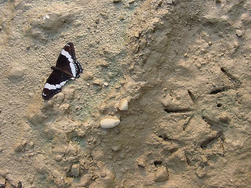 White Admiral with Bird Prints