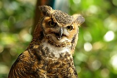 Horned Owl (marvels of nature) Tags: birds wild bird africa asia india owl maxxum7d konica minolta bubovirginianus greathornedowl aartikanisetty aarti