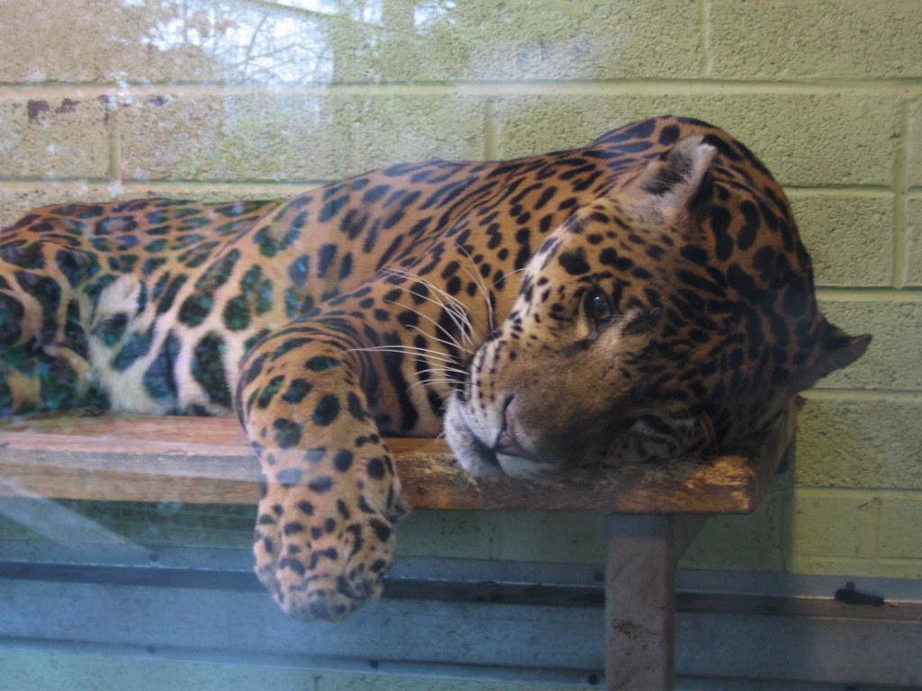 Jaguar animal paw - photo#7