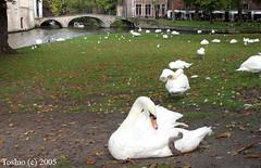 Brugge, Belgium (` Toshio ') Tags: city bridge bird fall swan europe cityscape belgium brugge bruges europeanunion toshio
