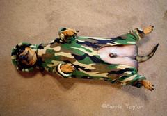 Chillaxin' (Carrie Taylor) Tags: dog dogs freeassociation topv111 1025fav hotdog sausage aerial dachshund 2550fav camouflage snoopy furryfriday weiner teckel chillaxin top20funniest carrietaylor interestingness1220059 abigfave