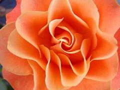 Róża - Rose (arjuna_zbycho) Tags: flowers roses flower macro rose austria österreich topv333 natur olympus gül blume baden rosas niederösterreich macrophoto زهرة kwiat rosae badenbeiwien e500 róża rosu róże rakousko makrofoto trandafiri trandafir doblhoffpark الورد roselovers biosphaerenparkwienerwald gülsevenler