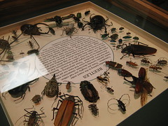 a square glass-top case, in the center is an oval with the word 'BEETLES' and a large among of unreadable text in it.  the rest of the box is filled with a large amount (like more than 25) of different kinds of beetles in all shapes and sizes.  all of the beetles have been positioned so that they face in toward the oval with the text.