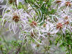 Native Clematis, Clematis aristata (sparra) Tags: native clematis aristata