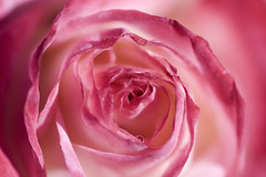 Twister (| HD |) Tags: pink flower macro 20d up rose canon flora close hd twister darwish hamad