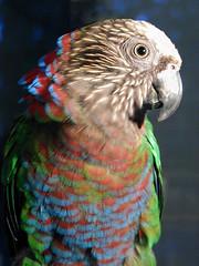 pets birds parrots hawkheads hawkheadedparrots
