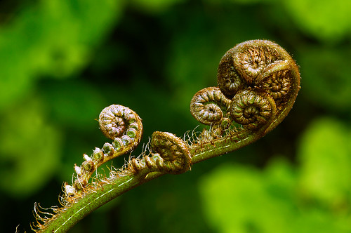 New shoots of the New Zealand silver fern plant have curled spiral tips,