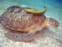 Hawksbill turtle & remora (John & Pam Owens) Tags: fish animals ilovenature divers underwater photos scuba diving scubadiving underwaterphotos divingphilippines specnature fcdbs abigfave pcp2011