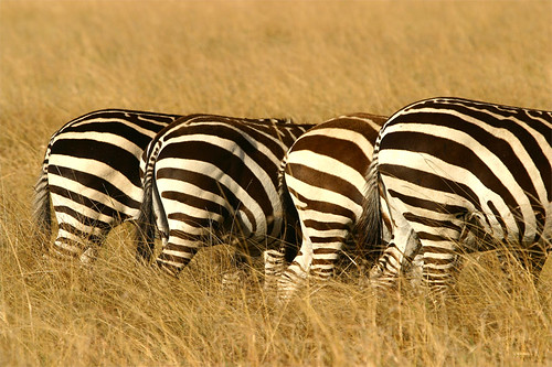 Four zebras standing in a line in the wild