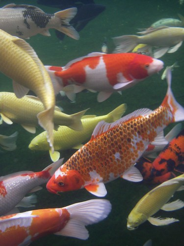 Underwater Blue Ridge Koi by you.
