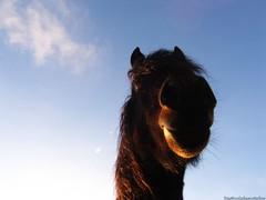 Hello Sailor! series (1) (MadPole) Tags: horses horse caballo cheval ross kali uma sunsets cal ponies ros cavallo cavalo pferd esp mal kin konie each kuda alogo ka horsies hest equus hevonen chevaux paard cavall kon hors sous  rta kone yegua hst  hesp assa   l  morin ko arklys hestur hynder  chaval koniki  perd  eoh  zaldi k caval chelee  ks caballu konj march  kabayo soquili sobah kobila evalo hobu hobune cjaval cabalo  ippos   kavaju  ghod  av  turag hross kavalo capall  kudure ciaval tashunke caballus zirgs k  iemel cahuayo kavale hengest mearh kaviyu grast harmasari grasni load heasta cubaddu acchettu coallu va k  beygir  madpolestream