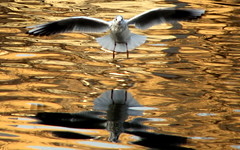What the? A Camera? No Food? (jcowboy) Tags: brown seagulls reflection bird nature water birds japan fauna wow reflections river catchycolors ilovenature wings 6ws wildlife seagull gull gulls 2006 rivers wildanimal oneyear ornithology birdwatching
