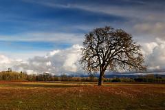 LONE TREE - North of Eugene, Oregon (Nativeagle) Tags: tree oregon nikon d70 native navajo nativeagle lonetree lonelytree eugeneoregon firstphoto2006
