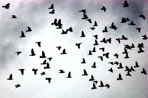 Flock of Birds