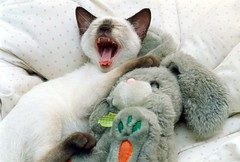 Pokemon and Hitchcock (Bibi) Tags: cute bunny cat hug kitten chat soft yawn siamese plush gato pokemon abrao thisone fofo gatinho plushtoy chaton siams coelhinho ccc09 plushrabbit cwcc