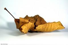 Autumn item (Hans van Reenen) Tags: studio indoorphotography rariteiten macro macroopname macroopnamen macroshot shots leaf autumn arbolitos