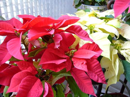 navidad-12ideas-decorar-casa-poinsetiablanca