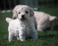 puppies-grass