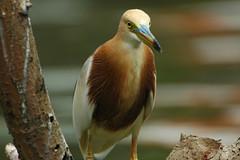 "Javan Pond Heron -""Ardeola speciosa"" (bocavermelha-l.b.) Tags: d70s 500mmf4dii tc20eii ornitologia inbali garçota javanpondheron ardeolaspeciosa foundinnusadua south–china–sea inindonesia wildlifebali"