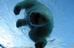 [フリー画像] [動物写真] [哺乳類] [熊/クマ] [シロクマ]       [フリー素材]