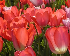 Tulips in the Hermannshof Garden - P4170024 (Andreas Helke) Tags: red plant flower 2004 nature topf25 topv111 backlight fix topv333 europa europe topv1111 natur interestingness1 100v10f fav20 size tulip 40 fav top10 popular blume fav30 blte twa tulipa tulpe highscore weinheim mypopularphotos creamofthecroppersonalfavorite fav10 p50 candreashelke v2000 top1 scoreme cotcbestof2005 hermannshofgarten 200601128 i46p3 20groups worldsfavorite 20060113583 200601131068 5groups interestingness1620060112 2006011415410 fav40 i500 2006051466836 score4386 score1010 2006090785437 notlarge 56tags 20061213103439 explorepotential photosilove 0207top10 20070510132141 oldstileoriginalsecret 20071028167542 pi601 pi706 fav5andmore scoreis10 popularold mymoreinterestingphotos
