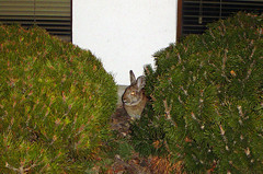 January 10, 2006: Peek-a-boo (Matt McGee) Tags: rabbit animal m2 1365 flickrday january102006