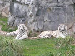 Two White Tigers (ZooLogic) Tags: argentina animals cat zoo buenosaires tiger tigers animales tigre whitetiger tigres temaiken zologico tigreblanco