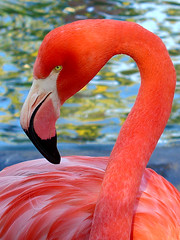 Flamingo (Just Jo) Tags: color bird topf25 1025fav wow wonder ilovenature zoo sandiego flamingo 100v10fav fv10 yourfavorites avianexcellence