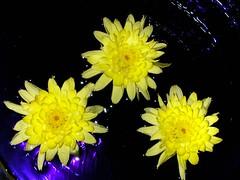 Chrysanthemum ( Graa Vargas ) Tags: flower yellow chrysanthemum crisntemo graavargas 2006graavargasallrightsreserved 60603120513