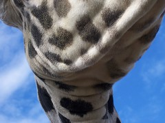 The Zoo: Giraffe Study 12 (getthebubbles) Tags: blue sky topf25 animals neck zo