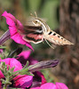 ...Hummingbird Moth... (Random Images from The Heartland) Tags: chris flower southdakota insect ilovenature moth insects bailey sphinxmoth hummingbirdmoth chrisbailey bail56 randomimagesfromtheheartland chrisbaileyimages