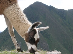 Llama at Machu Picchu (quinet) Tags: llama peru andes machupicchu