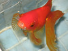 Museum Fish (photojennic) Tags: blue red orange fish water animal animals yellow museum catchycolors scotland pond goldfish royal scottish bubbles nationalmuseumofscotland creatures creature nationalmuseum fishpond royalmuseum royalmuseumofscotland photojennic interestingness379 nationalmuseumsofscotland explore17jan06 i500 msh0608 museumpics msh060812