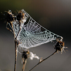 web | dew (Neil Bernhart [dextr]) Tags: morning cold nature wet topf25 water closeup backlight wow outdoors early droplets web topv999 d70s interestingness1 spiderweb 2006 dew nikkor 50mmf18d nikkorlens explorepage nikkor50mmf18d shootwideopen nospiderinsight ufav neilbernhart neilbernhartcom
