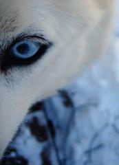 blue-eyed boy (birdfarm) Tags: dog siberianhusky husky eye blueeye snow badge