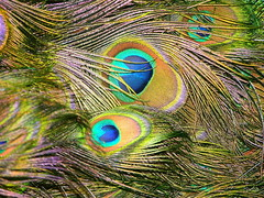 Nature's embroidery (katifelkai) Tags: peacock feathers catchycolors